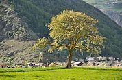 Apfelbaum und Laatsch