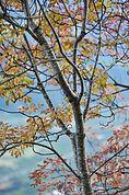Herbstliche Esche