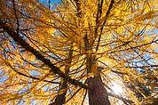 Herbst-Lärchen