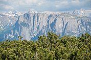 Latschen-Wald vor dem Schlern