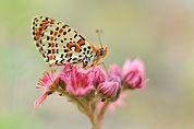 Schmetterling auf rosa Blüten