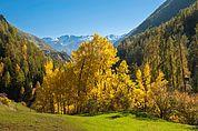 Herbstbäume im äußeren Schnalstal