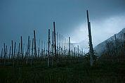 Apfelplantage bei Allitz