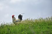 Der Hahn in der Wiese