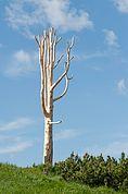 Baum-Denkmal auf der Schwarzsespitze