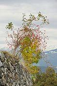 Rosenstrauch im Herbst
