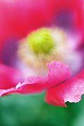 Schlafmohnblüte